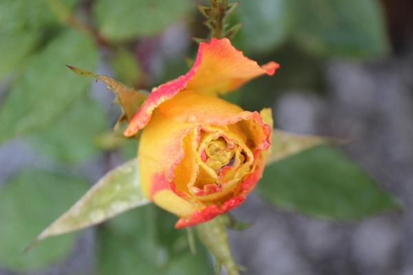 Rose IMG_3203